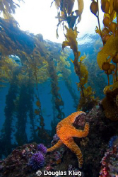 Sea Scape. This view of the reef at Anacapa Island includes an ochre star set against the kelp forest on a clear day.  Shot with a Canon Digital Rebel and 10-22mm in Ikelite Housing with dual DS51 strobes. 